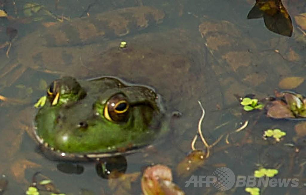 カエルの求愛歌、ライバルや天敵も呼ぶ 国際研究