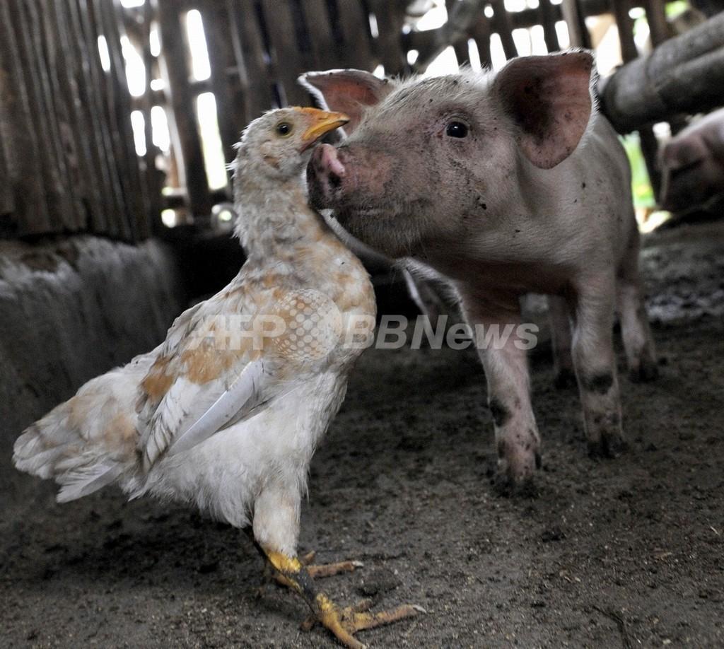 豚インフルエンザの正体は? 鳥、ヒトのウイルス要素も
