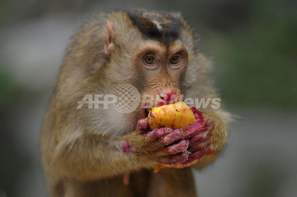 おいしい? 果物を頬張るカニクイザル マレーシア