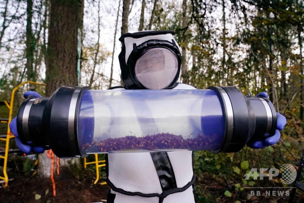 米で発見の「殺人バチ」の巣、無事駆除