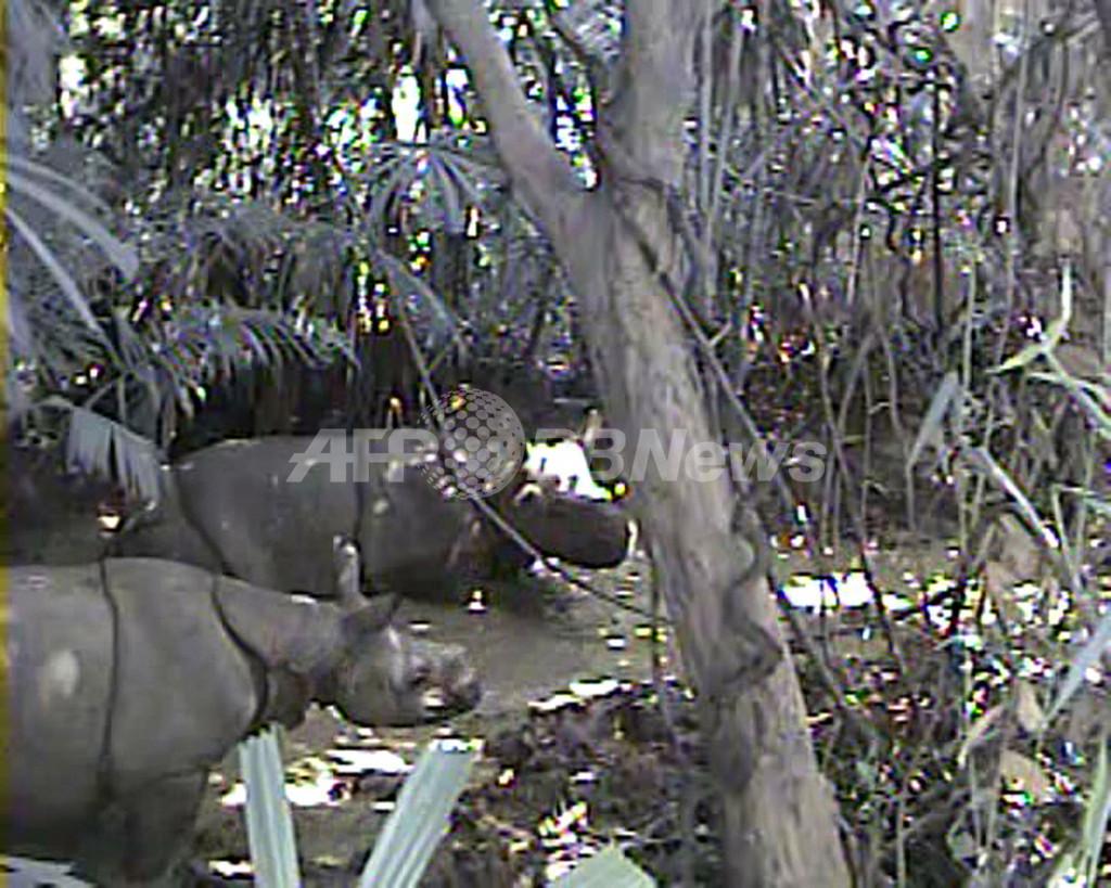 WWF、絶滅危惧種のジャワサイの映像を公開 インドネシア