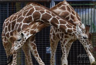 米動物園でキリンが出産、100万人がネットで視聴
