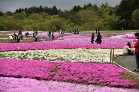 富士山麓で芝桜が見ごろ、山梨