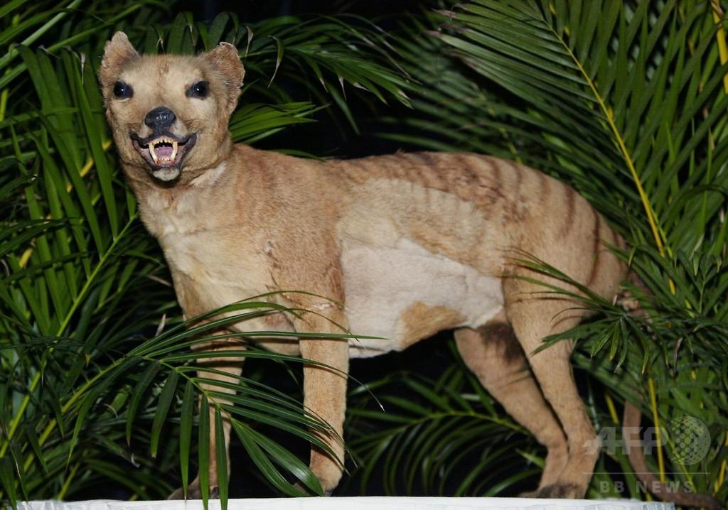 豪のフクロオオカミ、数千年も前から絶滅の運命に 研究