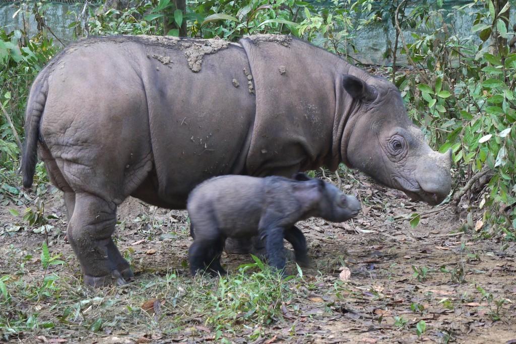 絶滅危惧種スマトラサイ、第2子を妊娠 インドネシア