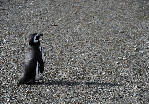 地球温暖化、ペンギンの楽園にも影響の恐れ チリ