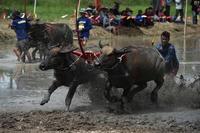 泥まみれで疾走! 田んぼでの水牛レース開催 タイ・チョンブリ