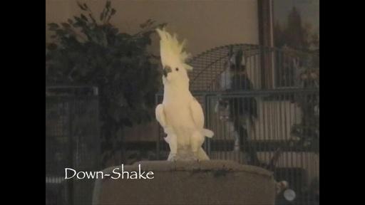 動画:鳥だってノリノリで踊りたい! オウムの脳も音楽処理能力があることが判明