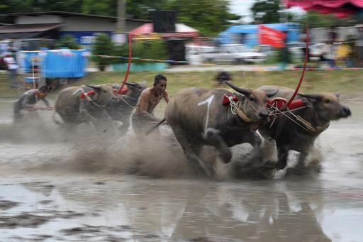 田んぼの中を疾走! 100年来の水牛レース開催 タイ