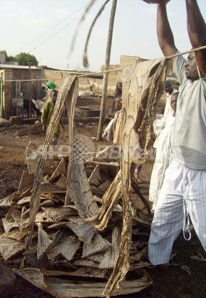 皮製品の需要急増でワニやニシキヘビが絶滅の危機、ナイジェリア