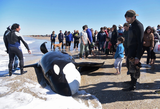 海岸に打ち上げられたシャチを救助、6頭が海に帰る アルゼンチン