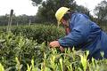 西湖龍井茶の春の茶摘み始まる 浙江・杭州