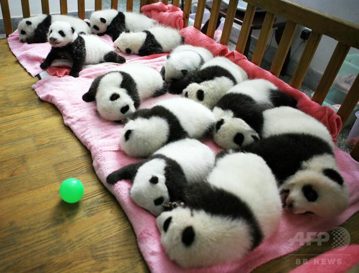 パンダ繁殖、「恋愛結婚」で性欲向上?
