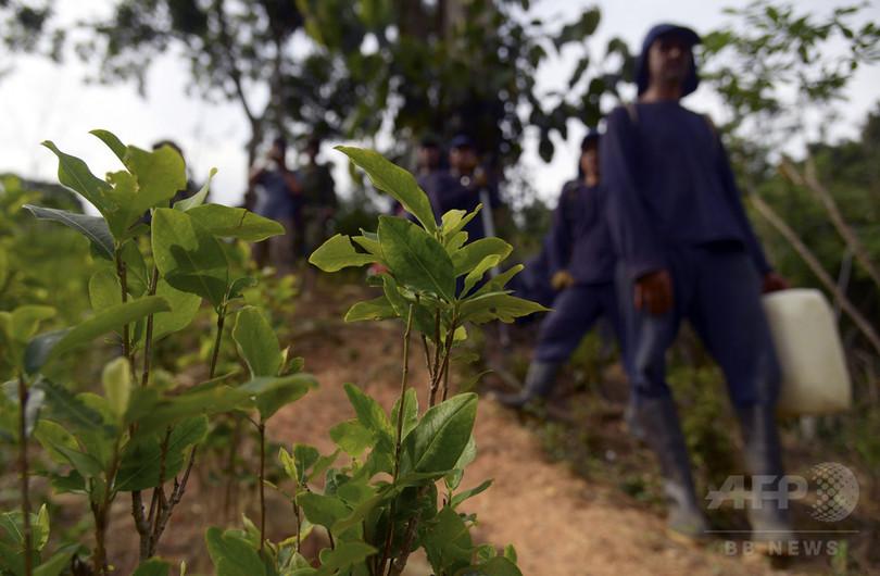コカイン原料の栽培やめた農家に土地提供 コロンビア