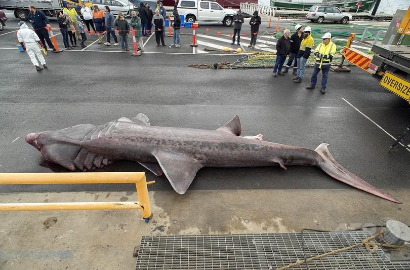珍しい巨大ウバザメ、豪で偶然捕獲 生態解明に期待