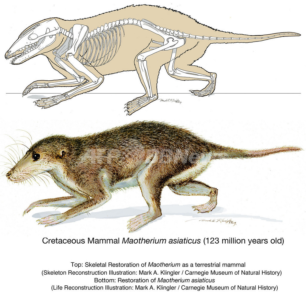新種のほ乳類の化石を発見、耳の進化に手がかり 中国北東部