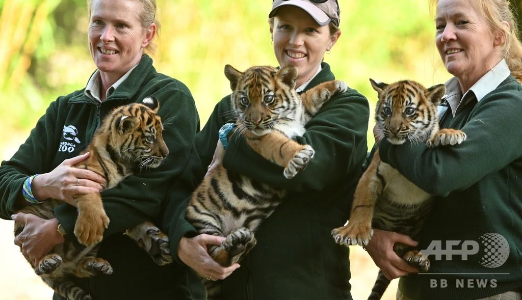 希少なスマトラトラの赤ちゃん3頭、豪動物園で初公開