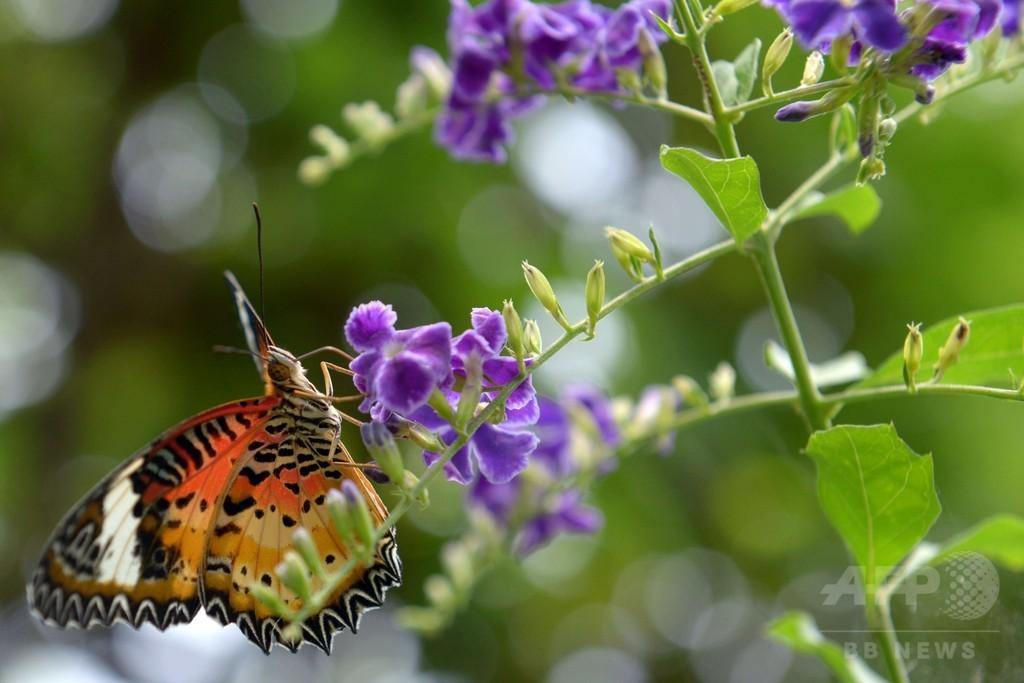 減少続く希少なチョウ類、地元住民に繁殖法指導 カンボジア