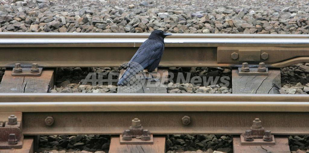 英国で起きた鳥の集団死、「酔っ払い飛行」が原因か
