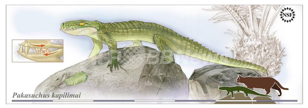 ほ乳類に似た新種ワニの化石発見、陸上生活に適応