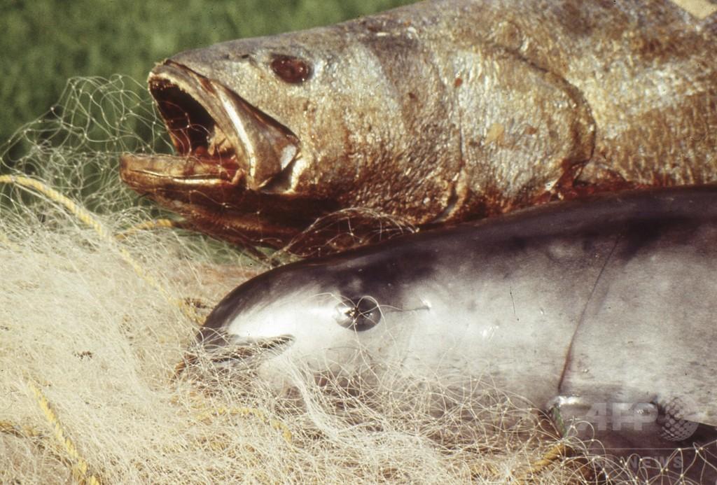 希少なコガシラネズミイルカ、来年までに絶滅する恐れ WWF 写真1枚 ...