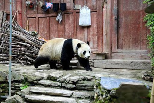 パンダが四川の民家周辺に出没 研究センターの定住パンダと判明