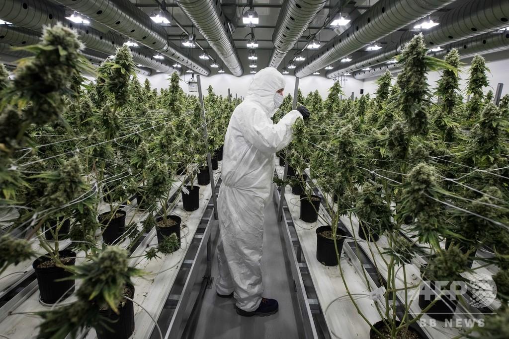 大麻、飲料・食品メーカーの「金の卵」か