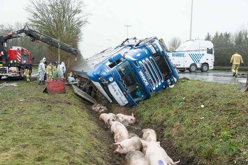 トラックが幹線道路で横転、ブタが車外へ ベルギー