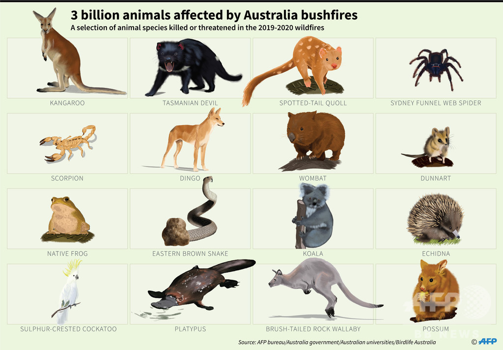 豪の森林火災で30億匹の動物が被害に、現代史上で最悪規模 調査