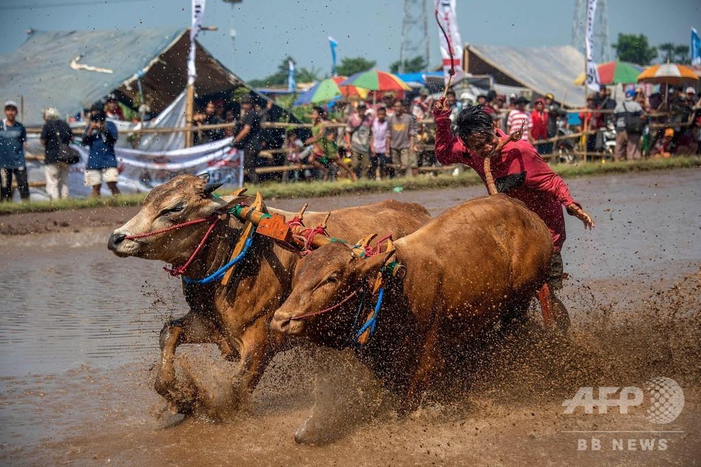 迫力の水牛レース インドネシア・ジャワ島の恒例行事