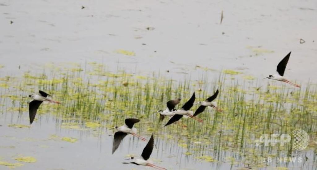 「希少種の野鳥の楽園」 湖北省の天河流域、水質も改善 中国