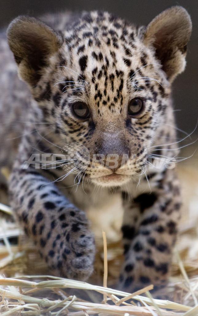 生後2ヶ月のジャガーの赤ちゃん、独ベルリン動物園