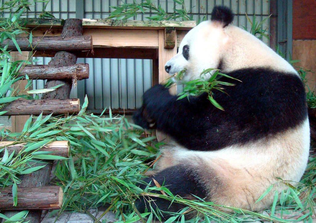 人間なら100歳相当のパンダ「蘇蘇」死ぬ、日本との縁も