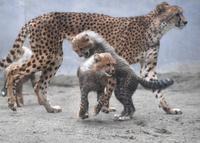 ふさふさ三つ子の赤ちゃんチーター、多摩動物公園で人気