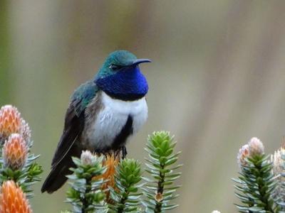 鮮やかな青い首…新種のハチドリ、南米エクアドルで発見