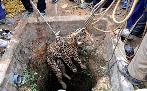 井戸に落ちたヒョウを救出、インド