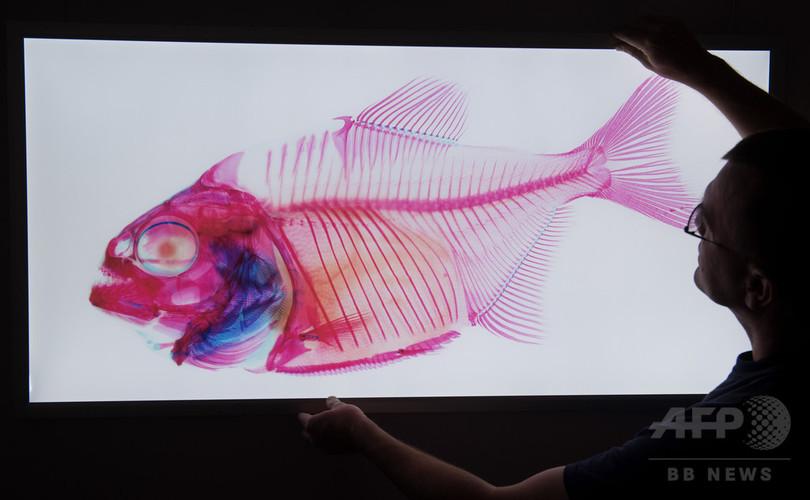 骨が丸見え! 筋肉や内臓すけすけ ドイツ海洋博物館で特別展