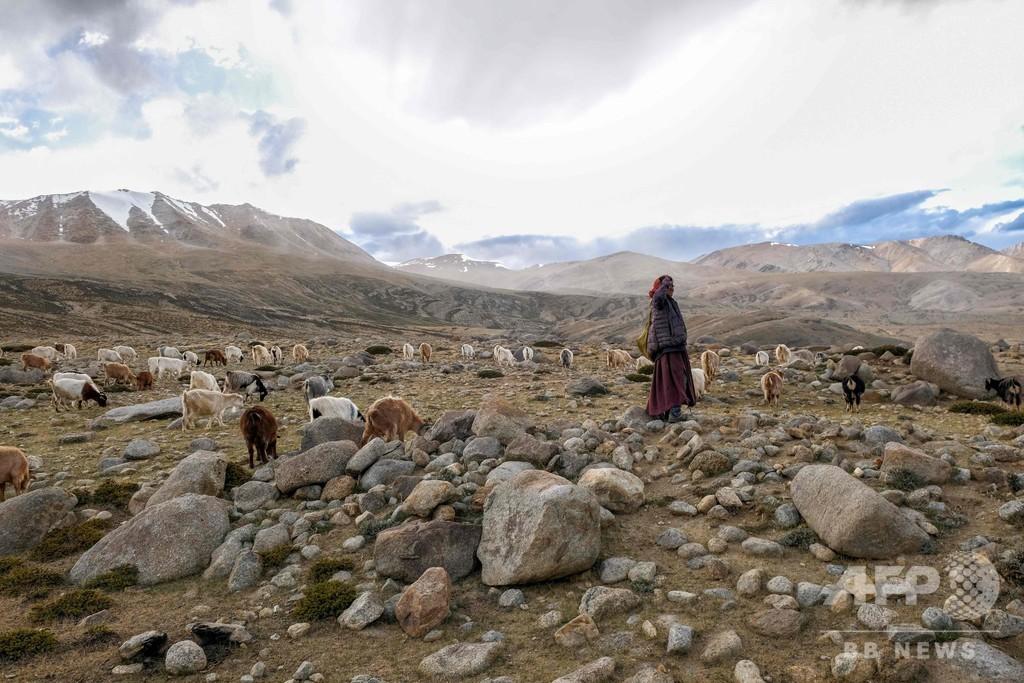 高級毛織物「パシュミナ」の産地、人と産業に降り掛かる気候変動の脅威 インド