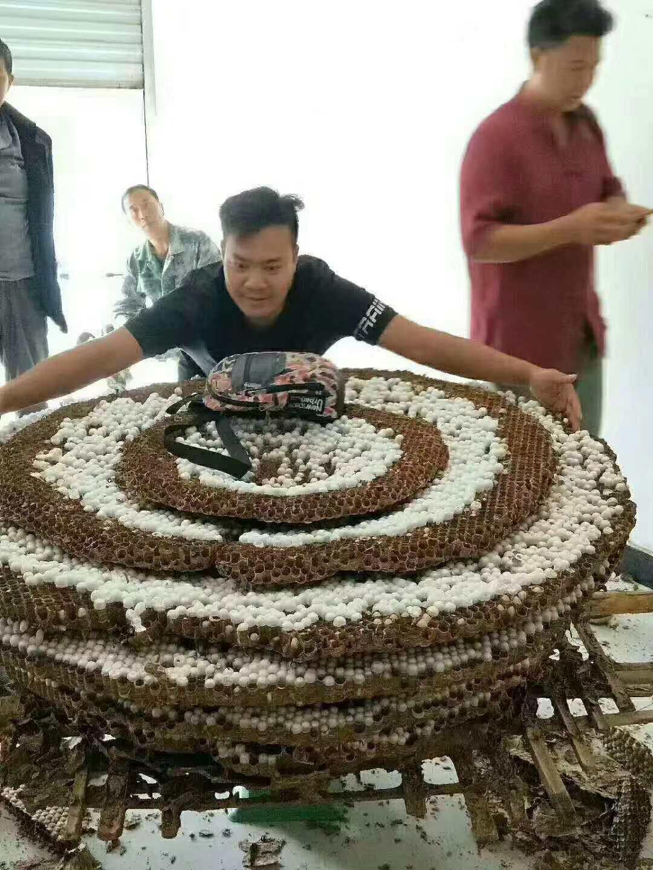 中国の昆虫専門家、体長6センチの巨大スズメバチを発見