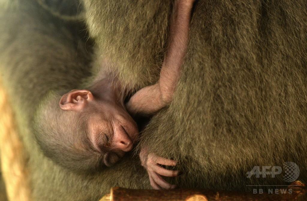 赤ちゃんザルに水浴びゴリラ、暑くても楽しいプラハの動物園