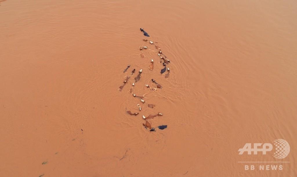 長江支流カン江で洪水、牧場の牛も立ち往生 江西省で260万人被災