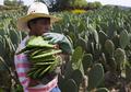 ウチワサボテンが食料危機の救世主か、国連食糧農業機関が見解