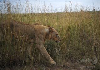 ラッシュ時の道路上でライオンが高齢者襲う、ケニア首都