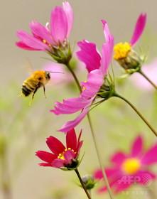 働きバチ、蜜ろう変化で「無秩序集団」に 研究