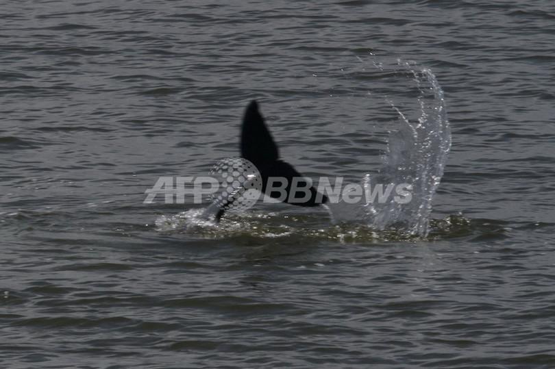 絶滅危惧種のカワゴンドウ、ボルネオ島沖で18頭発見
