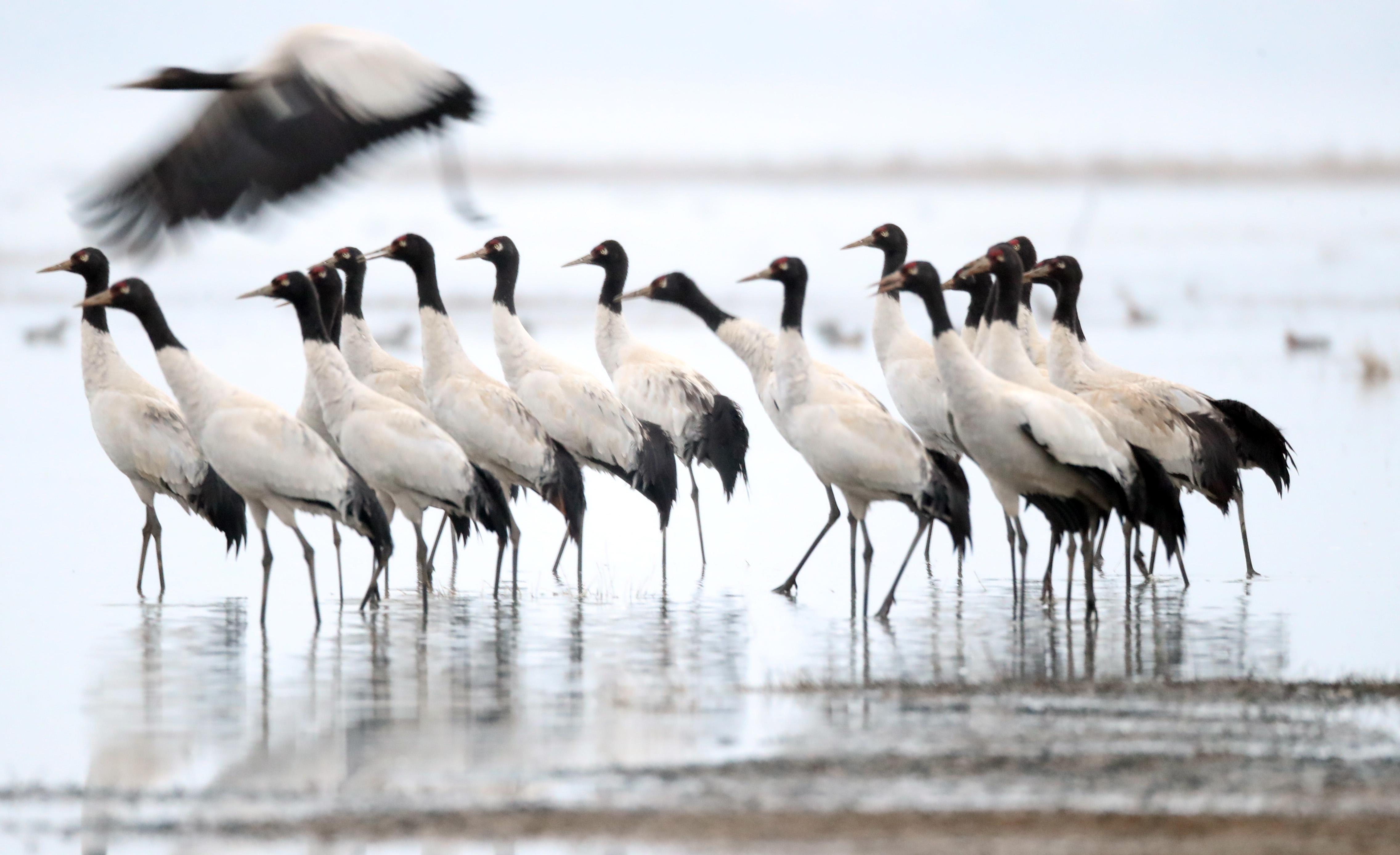春に舞うオグロヅル 貴州省草海国家級自然保護区