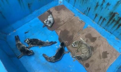 水族館への転売狙う 大連のゴマフアザラシ密漁者グループ