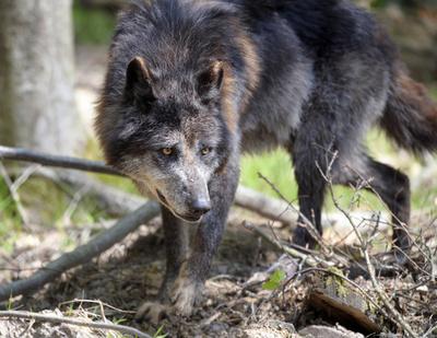 英動物園からオオカミ5匹脱走、一時騒然