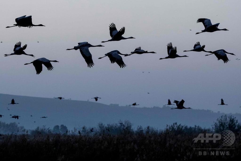 鳥の渡り行動、省エネが目的か 研究