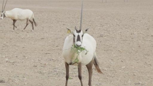 動画:ユニコーンのモデル、希少動物の保護施設オープン オマーン
